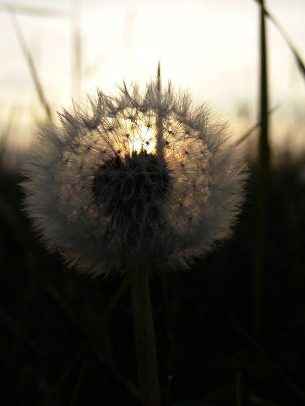 Leuchtblume