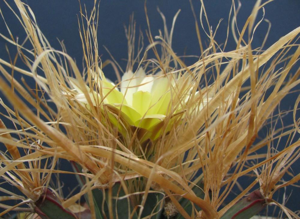 Leuchtenbergia principis Hook.