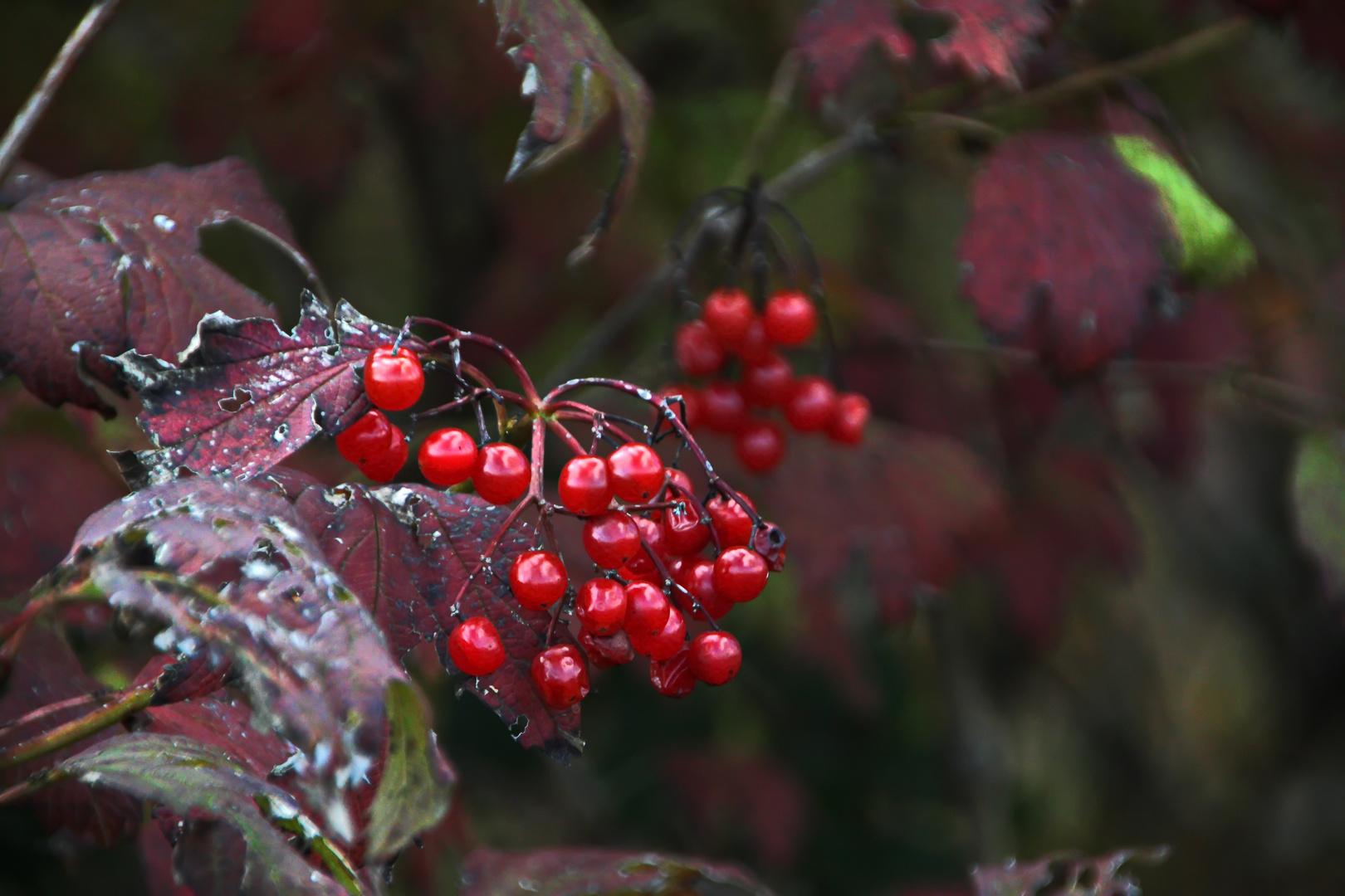 leuchtende Beeren im Herbst