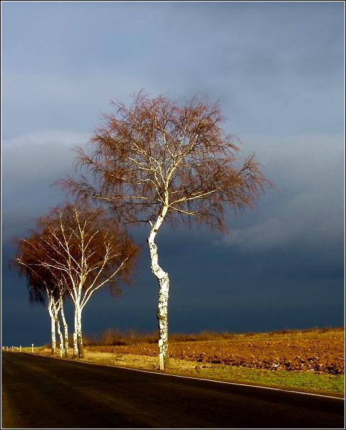 Leuchtende Birken