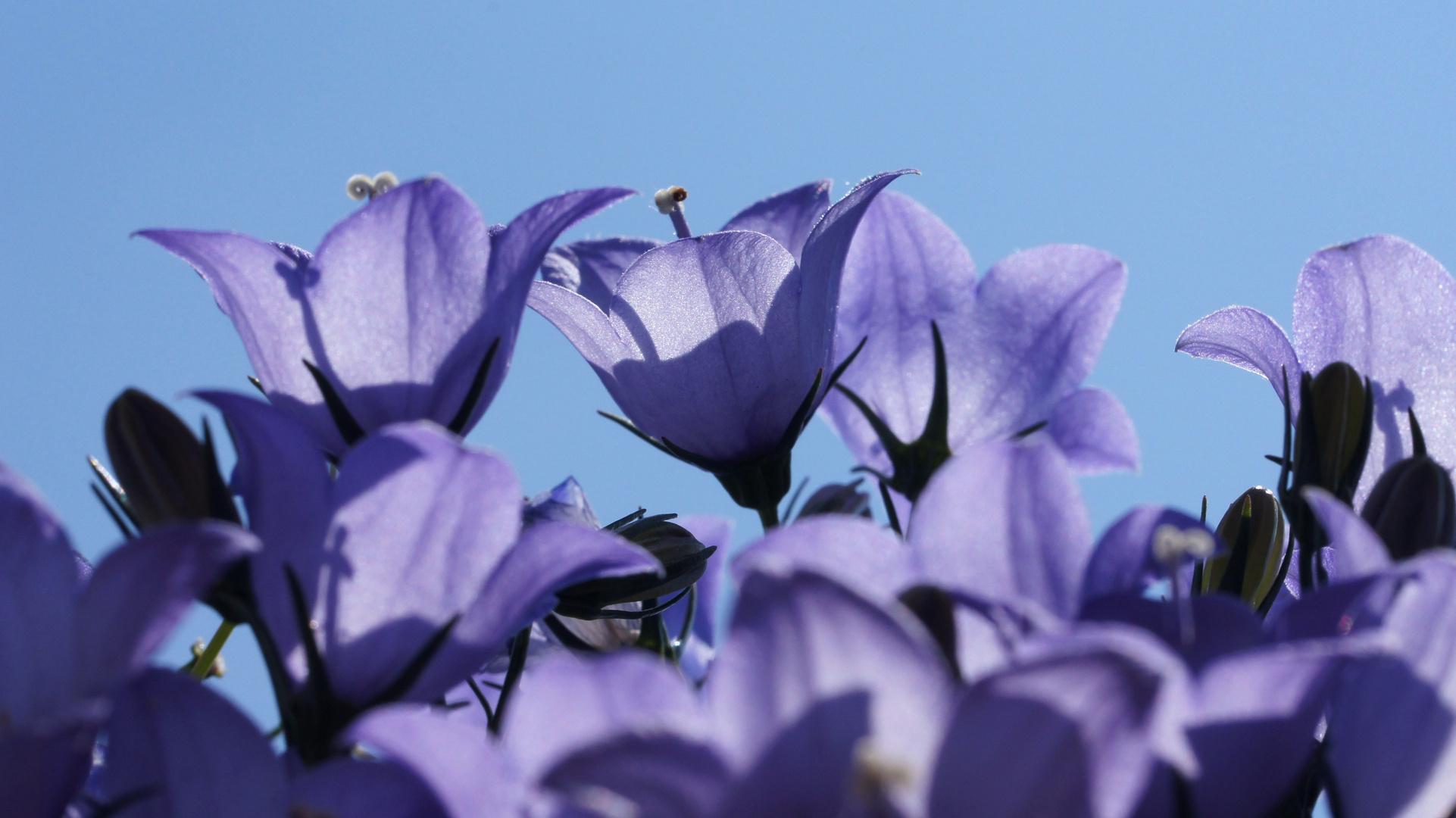 Leuchtende Glockenblumen