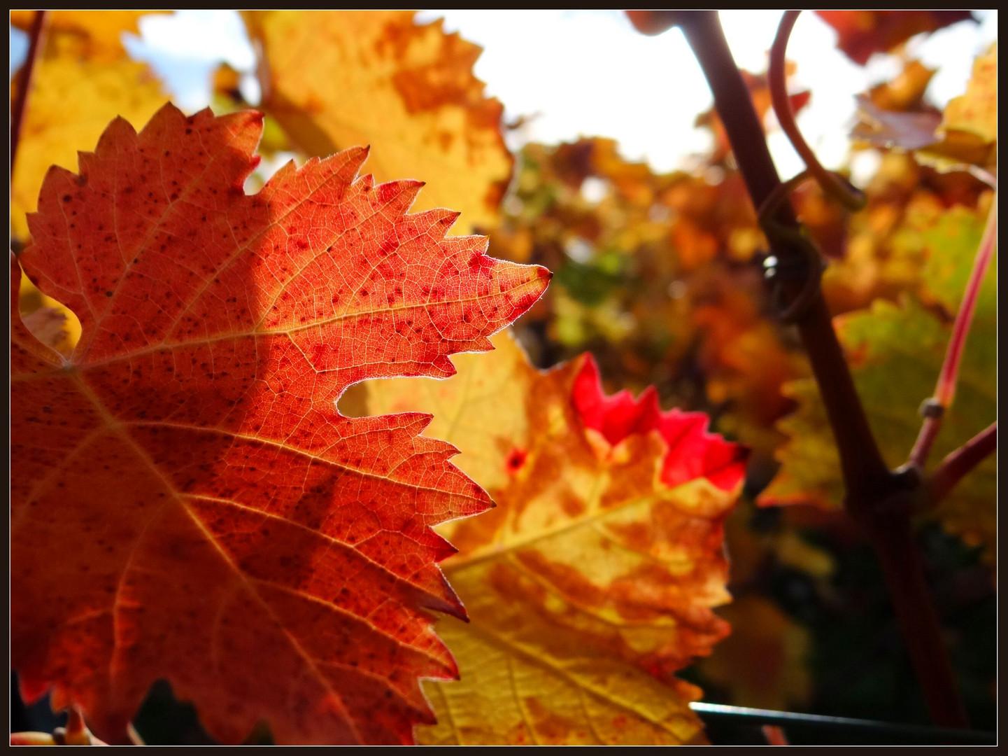 Leuchtende Weinblätter