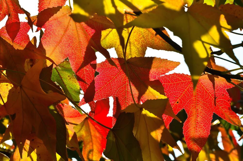 Leuchtender Herbstbaum