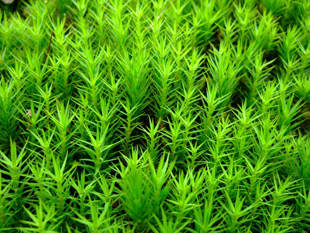 Leuchtendes moos foto bild pflanzen pilze flechten for Moos bilder pflanzen
