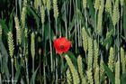 Leuchtendes Rot in reifendem Korn
