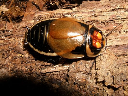 Leuchtschabe - Lucihormetica verrucosa (adulter Bock)
