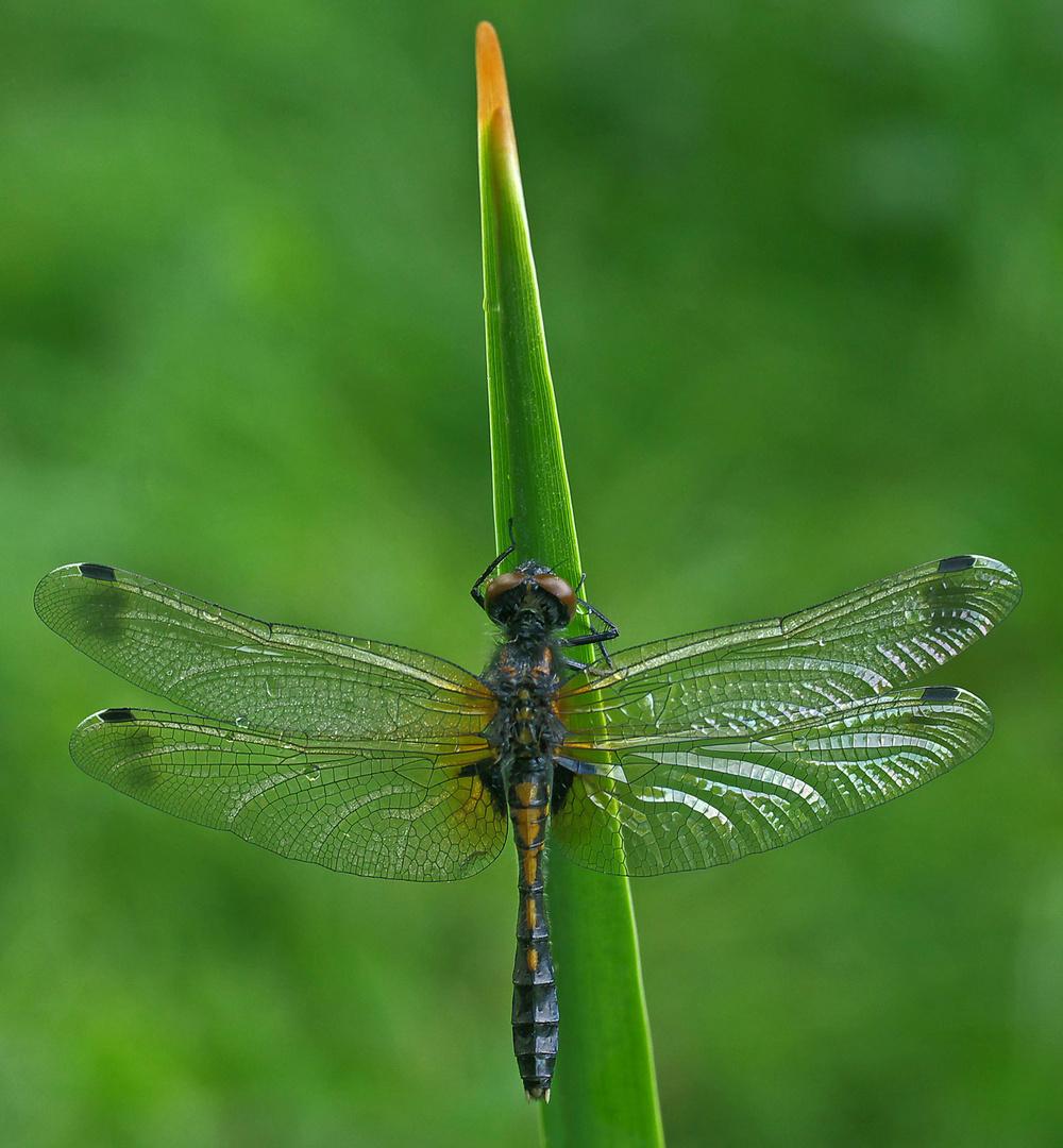 Leucorrhinia caudalis - Weibchen - Zierliche Moosjungfer