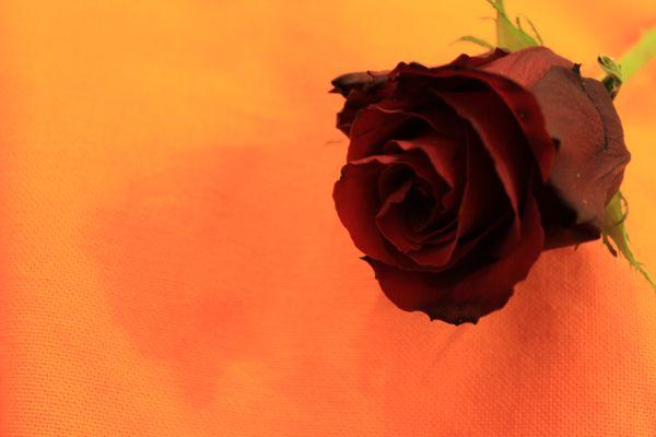 L'éveil de la rose