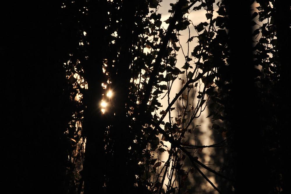lever de soleil entre les peupliers