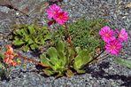 Lewisia mit zwei verschieden farbigen Blüten (orange und rot) !!!