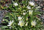 Lewisia nevadensis zum zweiten