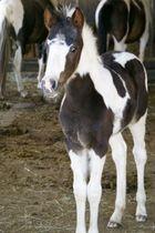Lewitzer Pony Fohlen