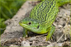 Lézard vert (2) femelle