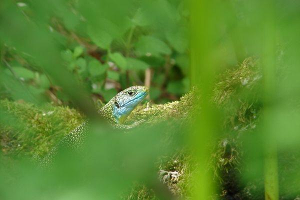 lezard vert occelé male