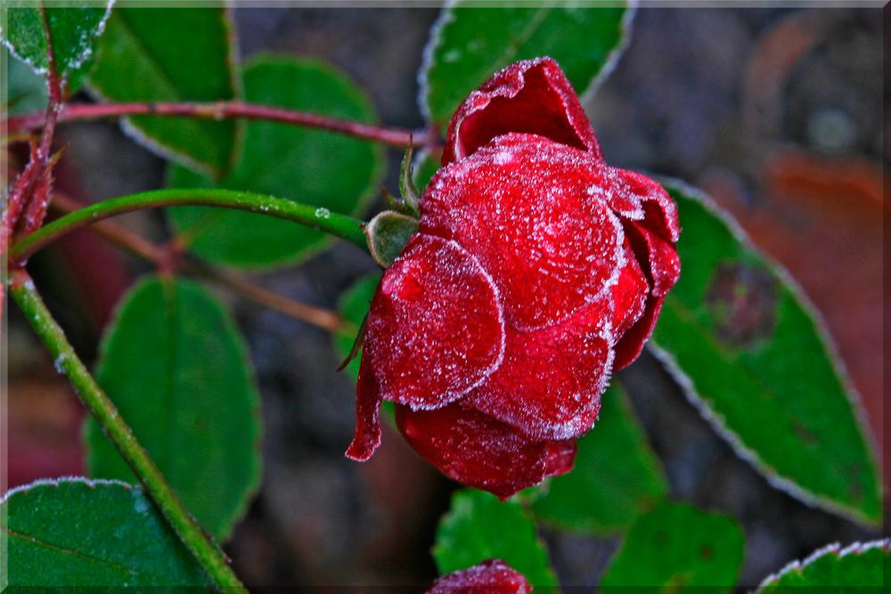 Lezte Rose...