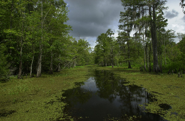 L'habitat de l'alligator en Louisiane