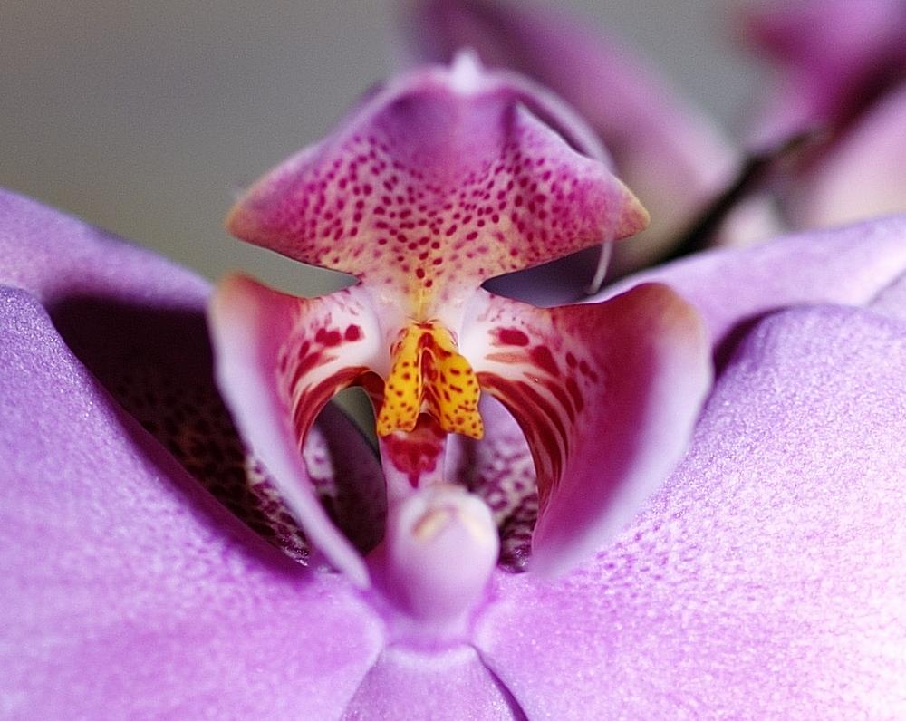 L'hypnose de l'Orchidée...