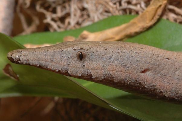 Lialis jicari - Neuguinea-Flossenfuß