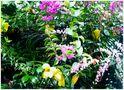 Lianes fleuries de Mahina