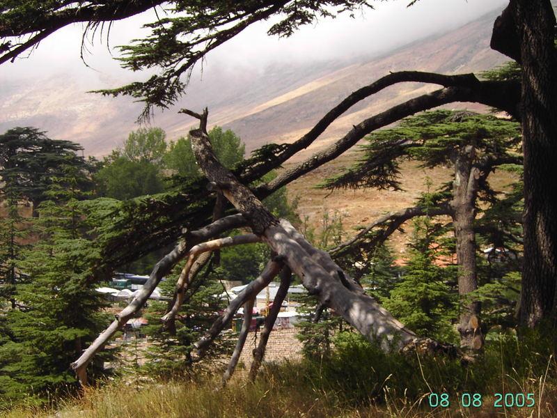 Libanon Zedern