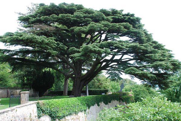 Libanonzeder am Fusse des Jura - ein botanisches Wunder!