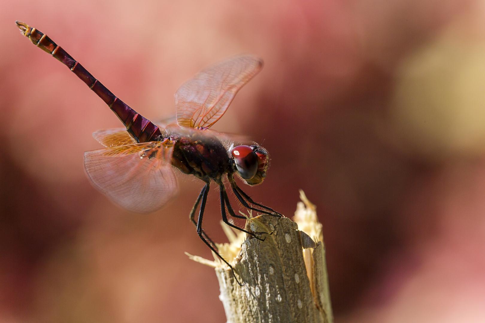 Libelle 6
