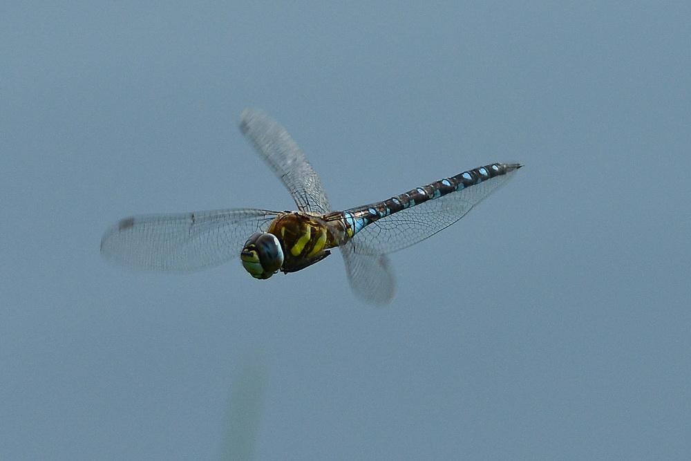 Libelle a