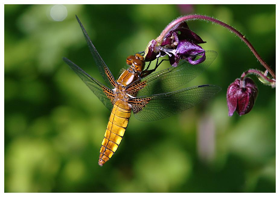 Libelle - aber was für eine?