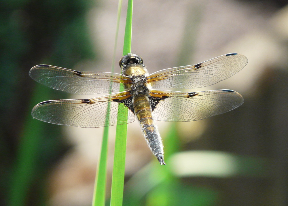 Libelle am eigenen Teich