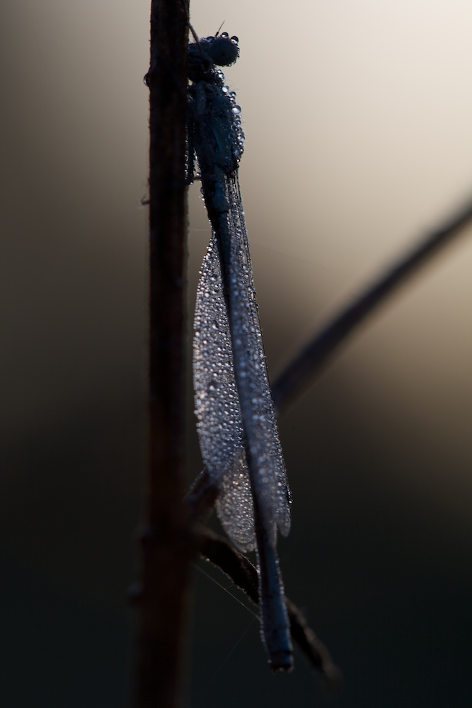 Libelle am frühen morgen zum Sonnenaufgang mit Morgentau