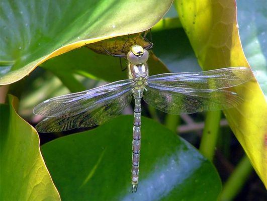Libelle am Gartenteich