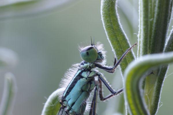 Libelle am Lavendelstrauch (2)