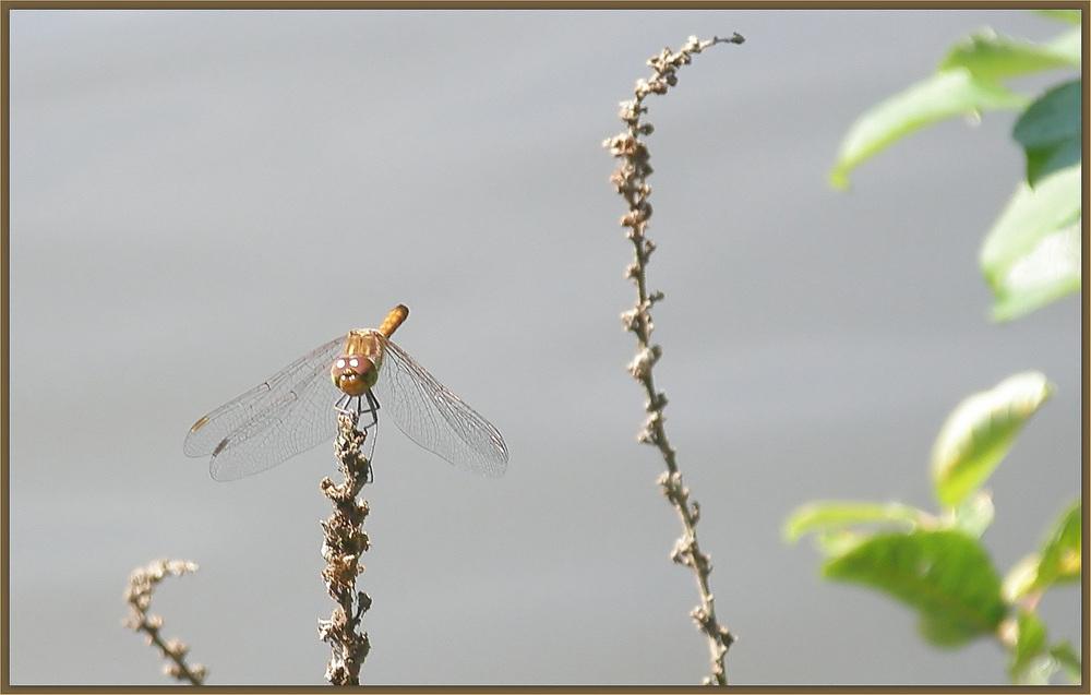 Libelle am Saarufer