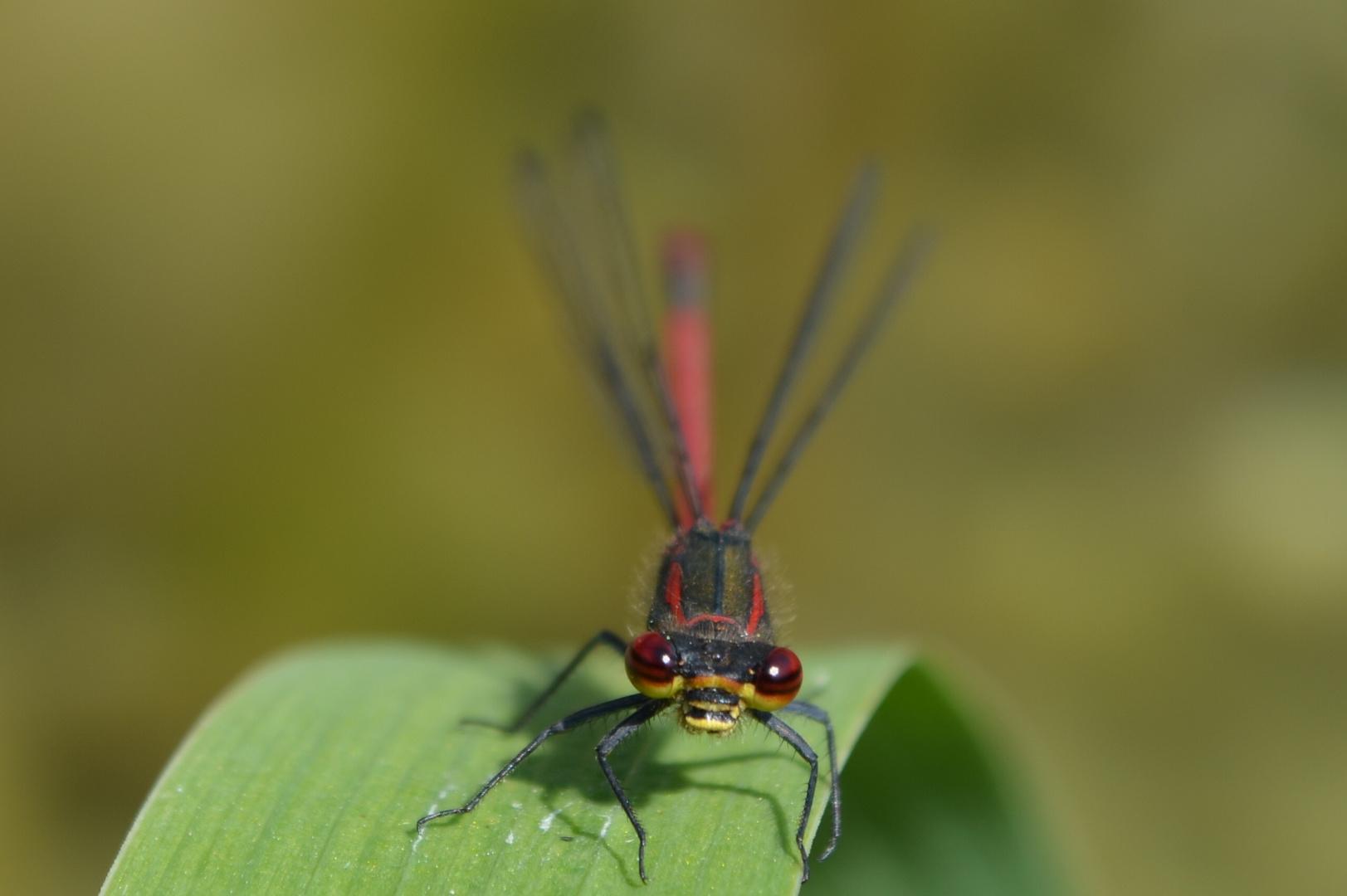 Libelle am Schwimmteich