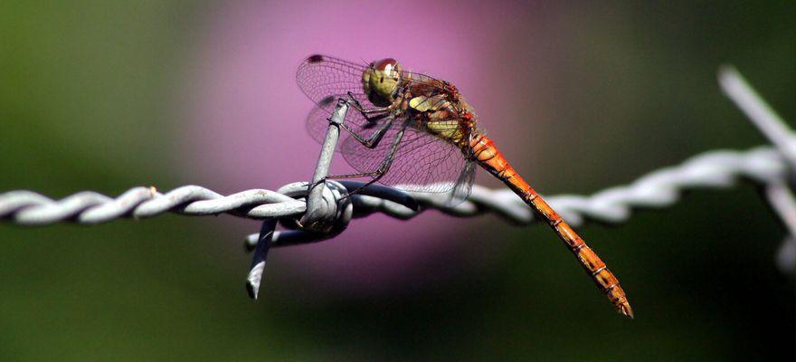 Libelle am Stacheldraht