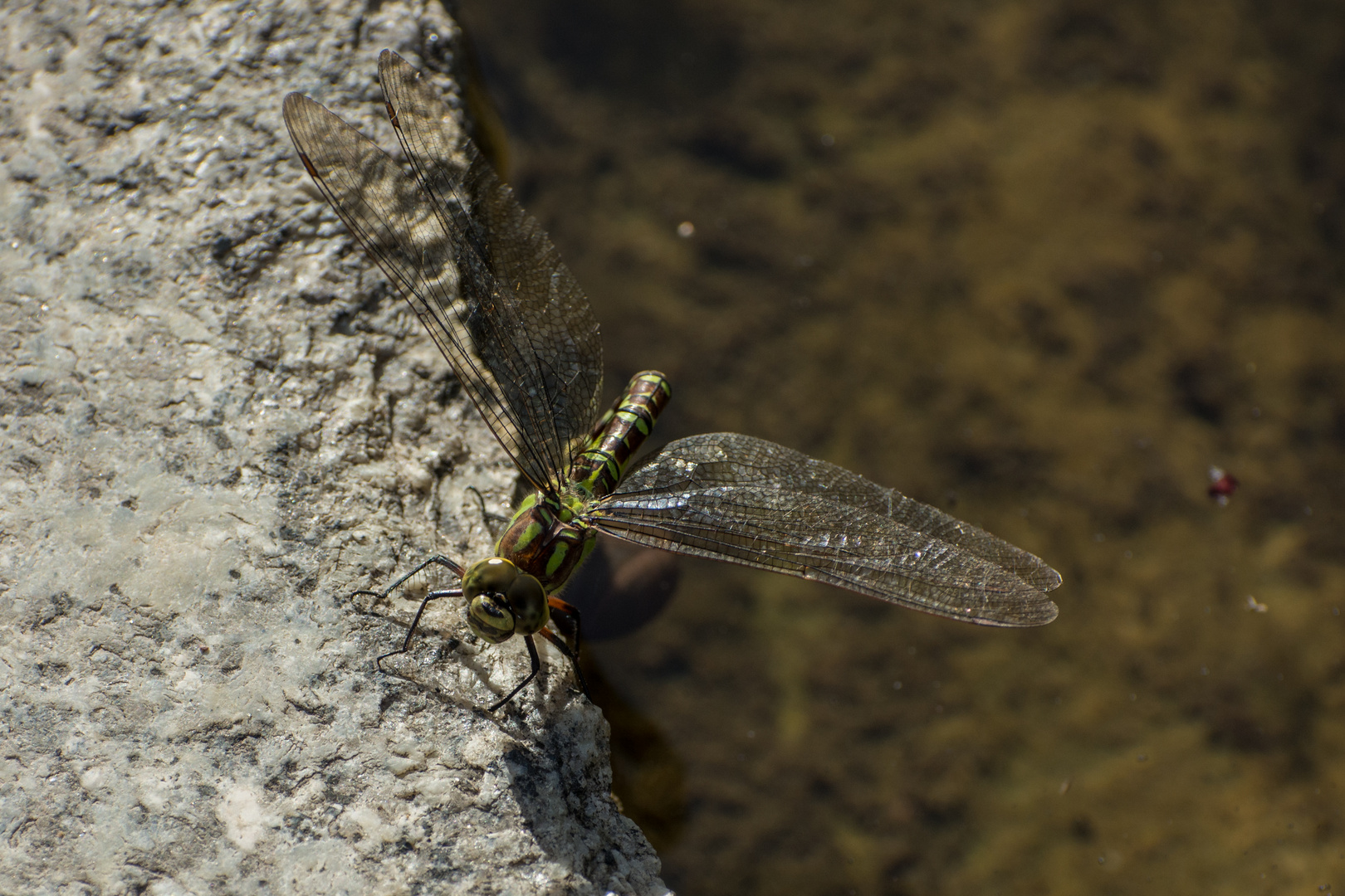 Libelle am Teichrand