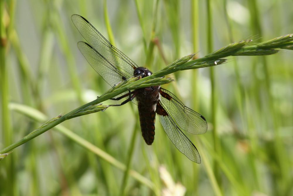 Libelle am Weiher, die Zweite