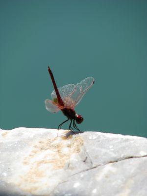 Libelle am Zaros See, Kreta