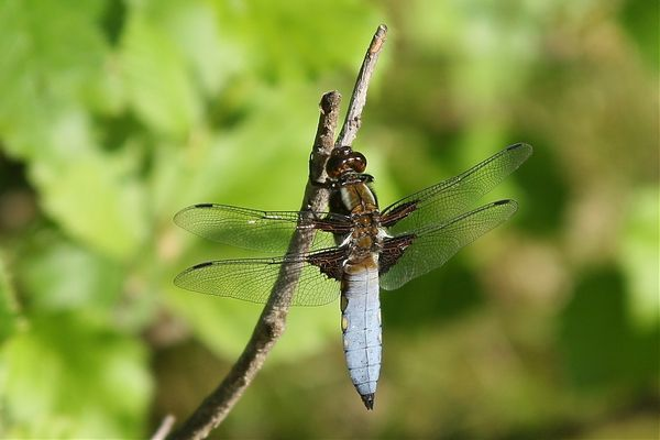 Libelle am Zweig