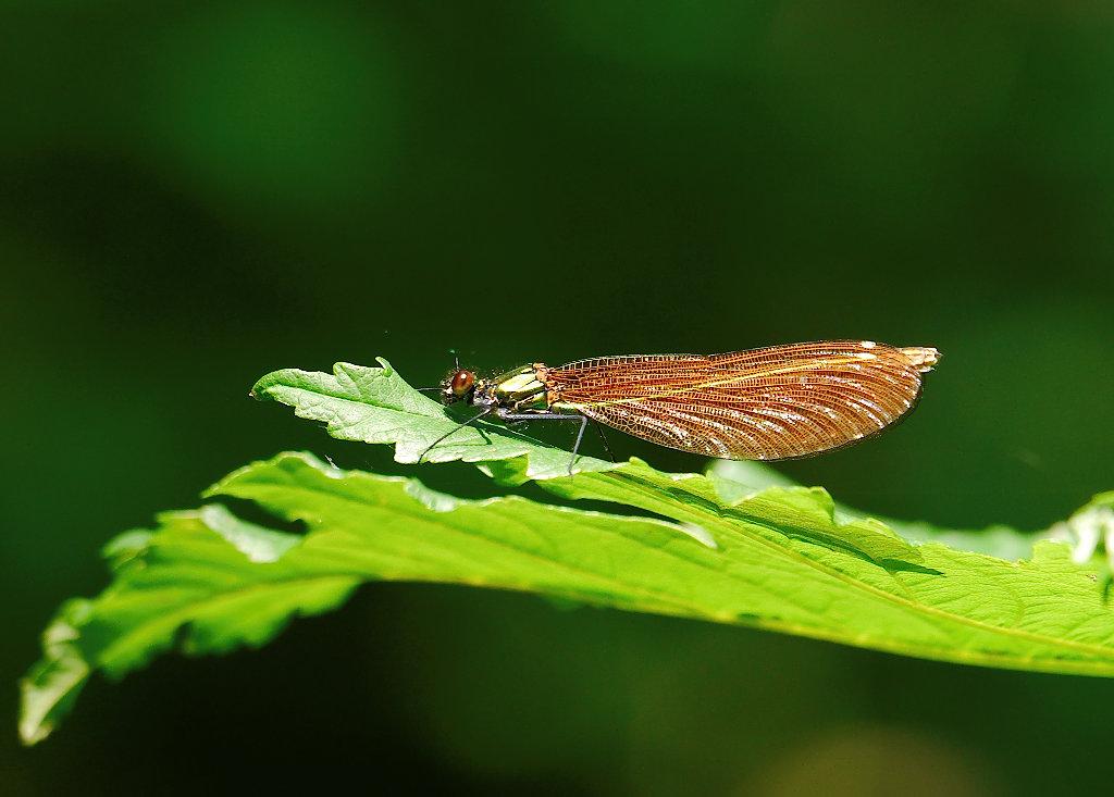 Libelle an der Aare