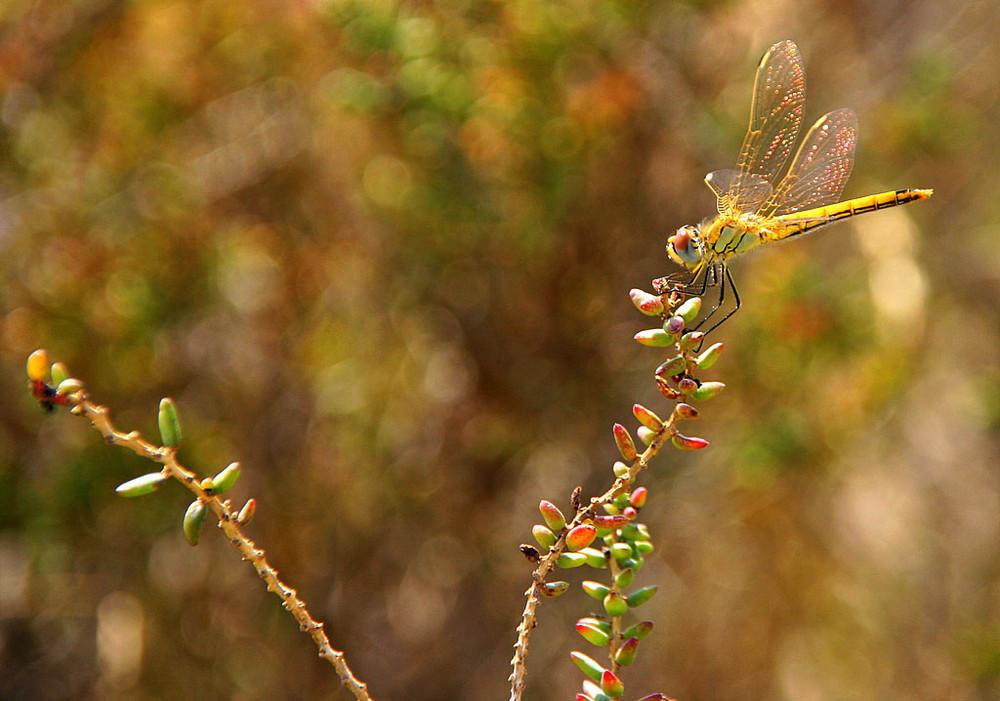Libelle An der Côte d' Azur