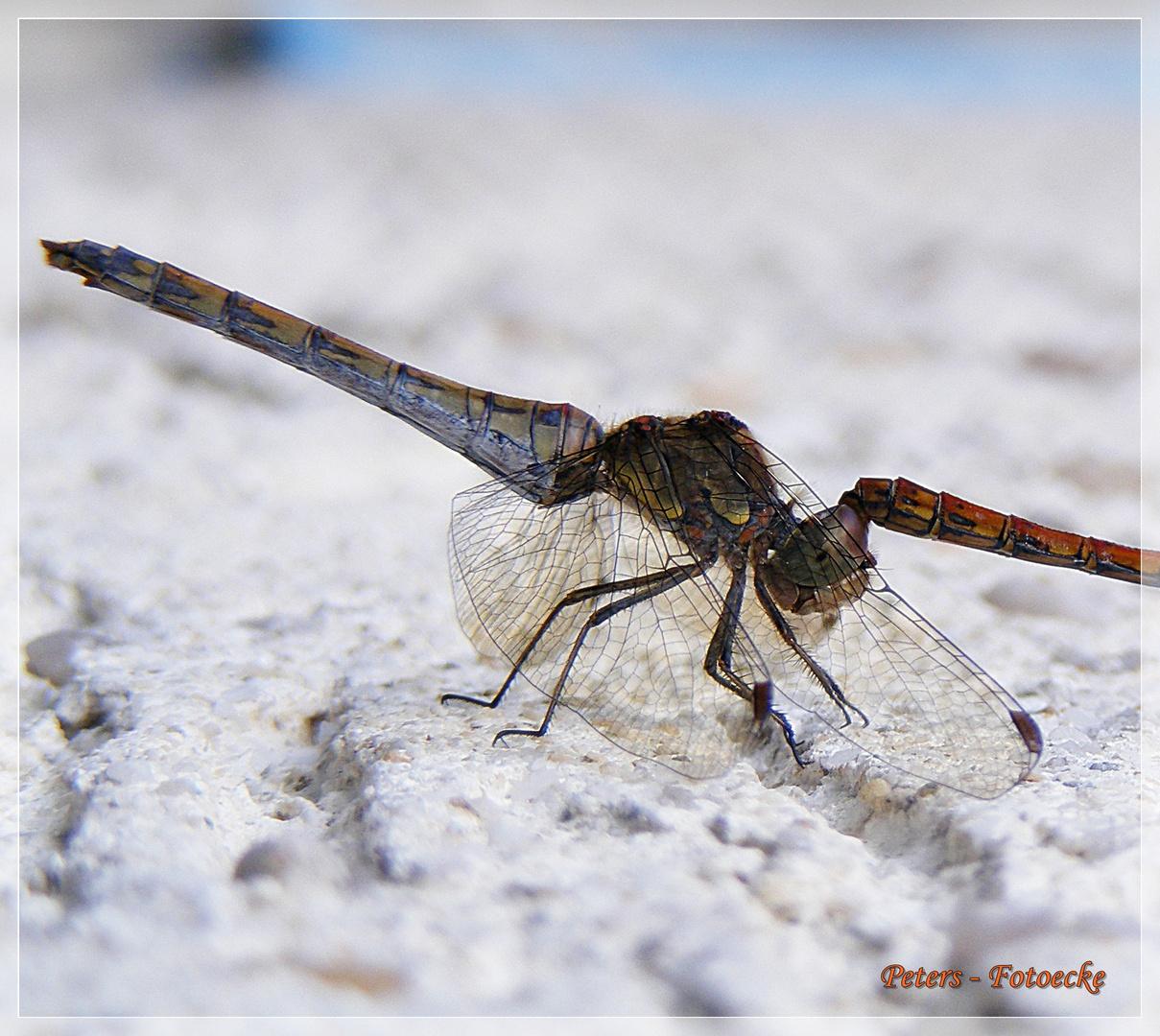 Libelle an der Hauswand