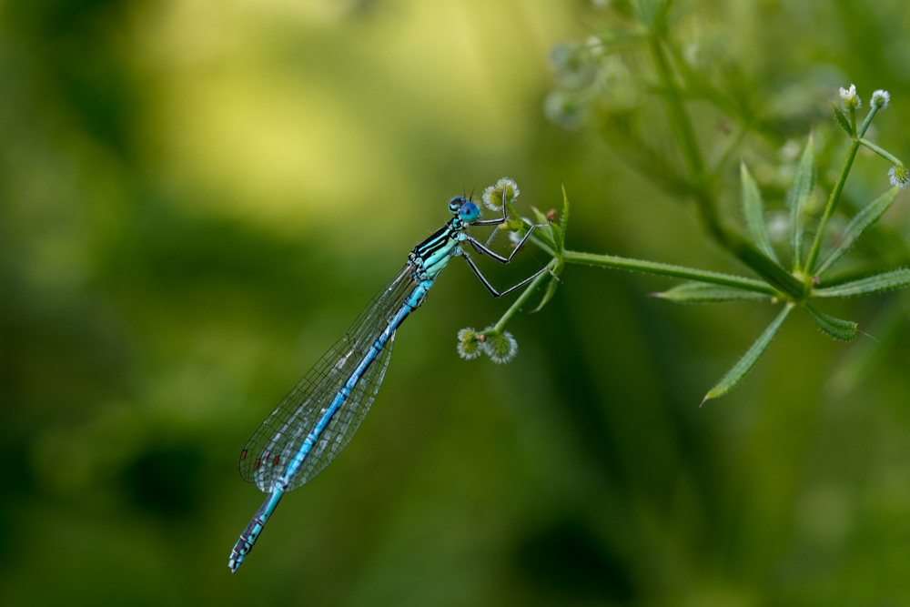 Libelle an einer Klettpflanze