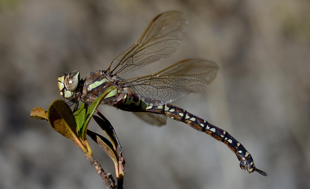 Libelle auf Alpenrose