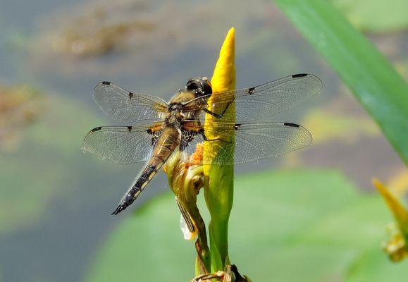 #...Libelle auf Blüte.......#
