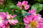 Libelle auf dem Rosenbusch I