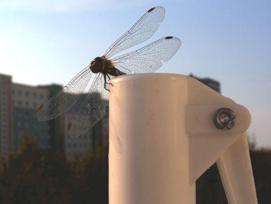 Libelle auf dem Schirmständer