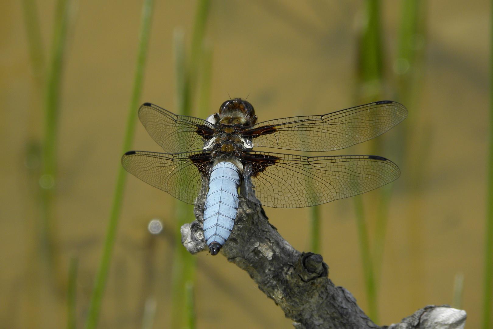 Libelle auf der Hochwiesalm
