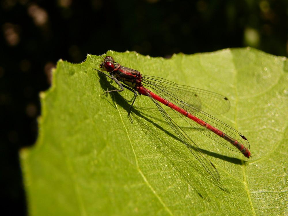 Libelle auf einem Feigenblatt