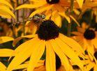 Libelle auf einem Sonnenhut